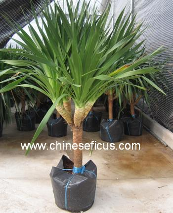 http://www.chineseficus.com/Upload/Greenplants/IMG_3051-16285346590.jpg Dracaena